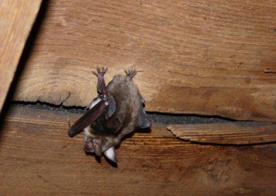 Mausohr Fledermaus