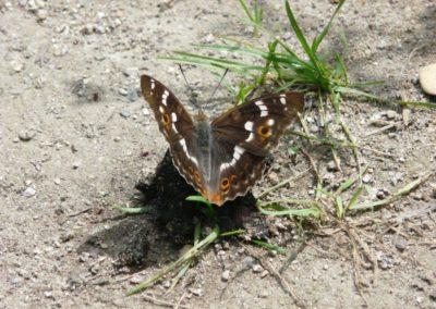 Schillerfalter Weibchen